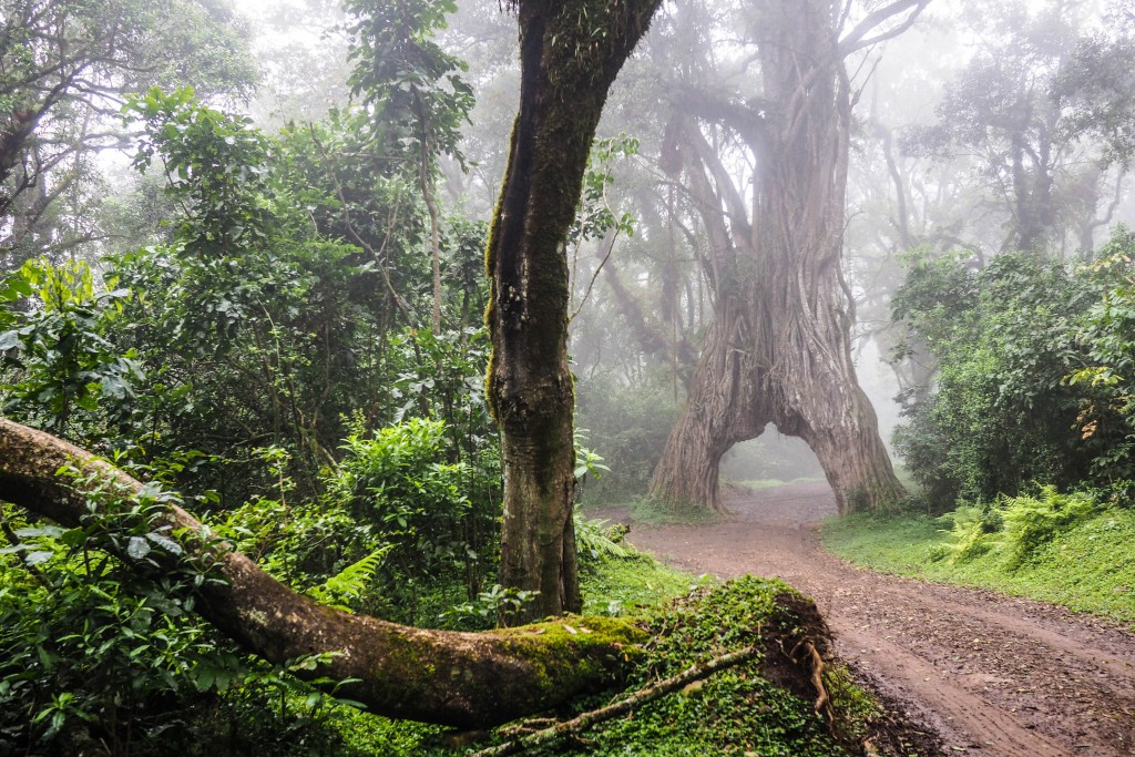 A remarkable twin fig tree arch in the jungle surrounding the mountain