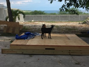 These trapped goats provided comic relief on a tiring day. Note to self: next time goats get stuck in the compound don't use a mop to shoo them out